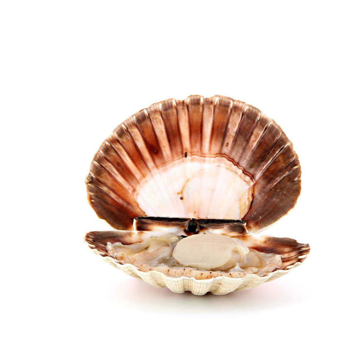 Coquille saint jacques poissons et fruits de mer - Cuisiner le corail des coquilles saint jacques ...