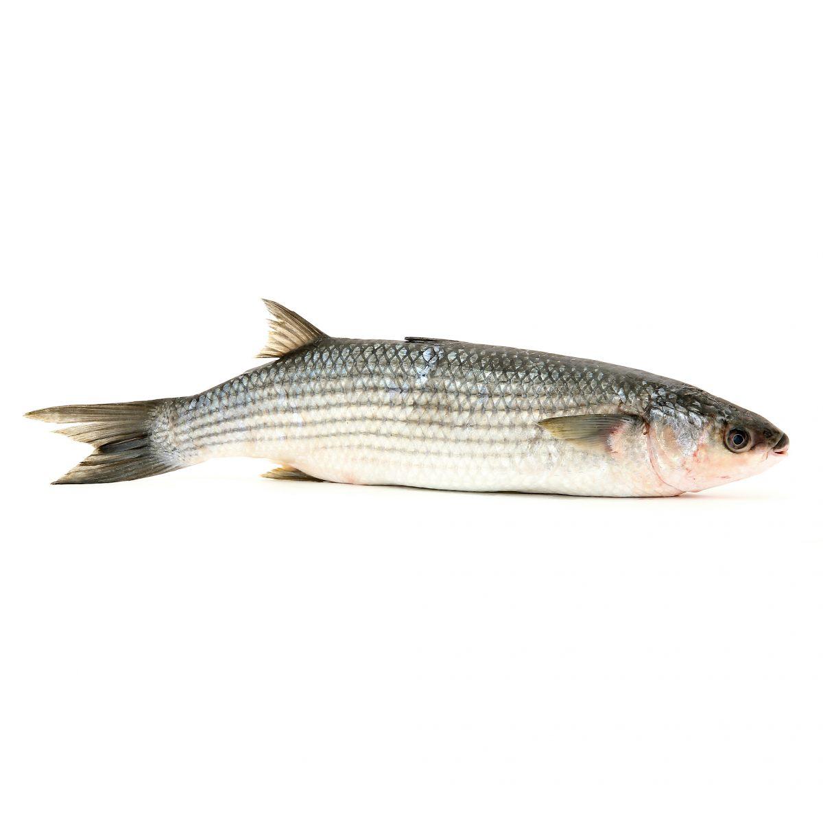 Mulet poissons et fruits de mer - Grand poisson de mer ...